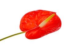Spadix flower isolated on white background Royalty Free Stock Images
