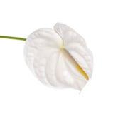 Spadix flower isolated on white background Royalty Free Stock Photography