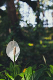 Spadix flower Stock Photos