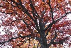 Spadków colours w Ontario Kanada gigantycznych dębowych drzewach fotografia royalty free