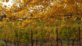 Spadków kolory, liście i winnica beyond, zdjęcie wideo