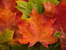 Spadków liści klonowych tło Fotografia Royalty Free