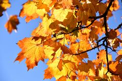 Spadków liście klonowi zdjęcie stock