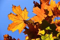 Spadków liście klonowi zdjęcie royalty free