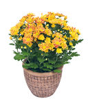 Spadków mums kwiaty Obrazy Royalty Free