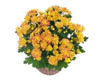 Spadków mums kwiaty obraz royalty free