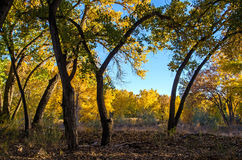 Spadku Cottonwood drzewa Zdjęcie Royalty Free