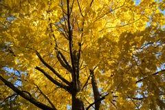 Spadku klonowy drzewo Obrazy Royalty Free