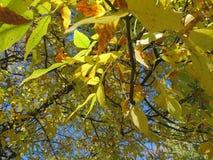Spadku kolor na drzewach Zdjęcie Royalty Free