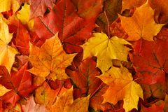 Spadku liść klonowy na drewnianym stole, tło tekstura zdjęcia royalty free