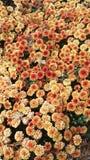 Spadku piękna pomarańcze mums obrazy royalty free