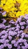 Spadku piękna Purpurowi i Żółci mums zdjęcia stock