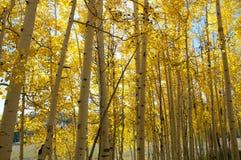 Spadku ulistnienie na Żółtych Osikowych drzewach pokazuje daleko ich jesień Barwi zdjęcia stock