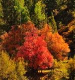Spadku ulistnienie na Czerwonych Klonowych drzewach pokazuje daleko ich jesień Barwi obrazy stock
