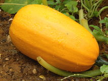 Spaghetti Squash Royalty Free Stock Photos