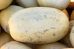 Spaghetti Squash, Cucurbita pepo. Cultivar with oblong fruits ivory to orange yellow in colour, smooth skin and yellow flesh, baked or cooked Royalty Free Stock Image