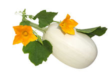 Spaghetti squash Flower Stock Photography
