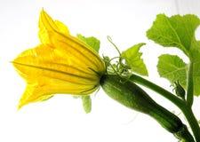 Spaghetti squash Flower Stock Images