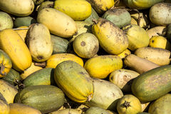 Spaghetti squashes. Lot of yellow spaghetti squashes just collected Royalty Free Stock Photo