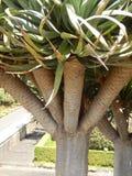 Spagnolo Dragon Tree immagine stock