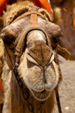 Spain africa front brown dromedary bite in the volcanic  lanza Royalty Free Stock Photography