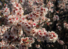 Spain, Andalusia. Spring almond blossom in full bloom Royalty Free Stock Images