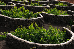 Spain, Canary Islands, Lanzarote, La Geria Vineyard. Stock Photography