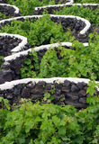 Spain, Canary Islands, Lanzarote, La Geria Vineyard. Spain, Canary Islands, Lanzarote, La Geria Vineyard region - detail of vines protected from elements by stock photography