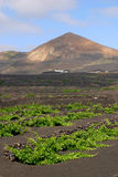Spain, Canary Islands, Lanzarote, La Geria Vineyard. Spain, Canary Islands, Lanzarote, La Geria Vineyard region - detail of vines protected from elements by royalty free stock images