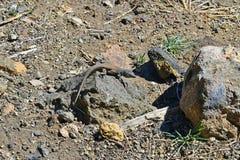 Spain, Canary Islands, Tenerife Lizard Royalty Free Stock Photos