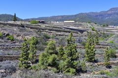 Spain, Canary Islands, Tenerife, Vineyard. In terraces cultivation on hillside royalty free stock photo