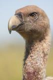 Spain, Griffon vulture Stock Photos