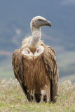 Spain, Griffon vulture Royalty Free Stock Photo