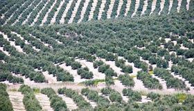 spain krajobrazowi oliwni drzewa Obrazy Stock