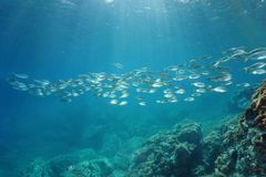 Spain Mediterranean sea school of fish. Spain Mediterranean sea underwater a school of fish seabreams salema porgy, Sarpa salpa, Catalonia, Costa Brava Stock Photo