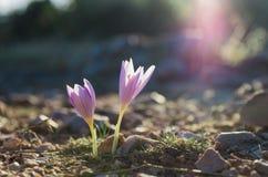 Spain, Mountains, Saffron Plant, España, Sierra d Stock Photography