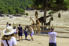 Spain, Penaguila - June 21, 2019: Tourists take pictures of giraffes in the Aitana Safari Park.  royalty free stock photography