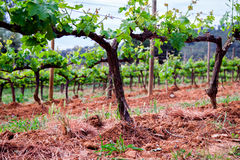 The Spain region wine producing, vine fields.  Royalty Free Stock Images