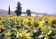spain solrosor Fotografering för Bildbyråer