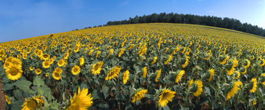 Spain - Sunflower field Royalty Free Stock Photos