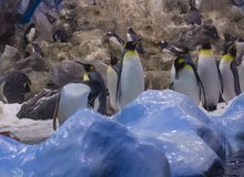Spain, Tenerife, Puerto de la Cruz, 2017, December 28: group of. Emperor penguin with blue ice and artiicial rocks  in the largest zoo in Canary Islands - Loro Stock Image