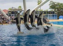 Spain, Tenerife, Puerto de la Cruz, 2017, December 28: spectacular killer whale Orca show in the largest zoo in Canary Islands - stock photo