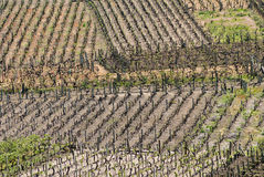 Spain Vineyard. Vineyards in Ribadavia, Galicia, Spain Royalty Free Stock Image