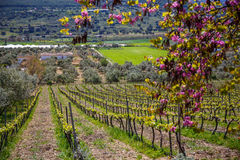 Spain vineyard area. One of the most productive culture of the vine royalty free stock images