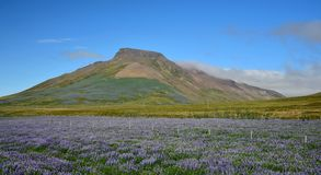 Spakonufell, a mountain near the small town Skagaströnd in Iceland. A field of lupins in the front. Peninsula Skagi. royalty free stock image