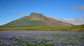 Spakonufell, uma montanha perto da cidade pequena Skagaströnd em Islândia Um campo dos tremoceiros na parte dianteira Península  imagem de stock royalty free