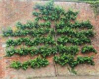 Spalierbaum auf alter Backsteinmauer Stockfotografie