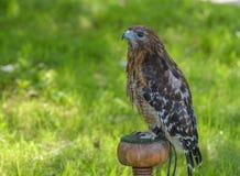 Spalla rossa Hawk Portrait Fotografia Stock Libera da Diritti
