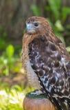 Spalla rossa Hawk Portrait Fotografie Stock Libere da Diritti