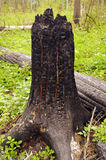 spalone drzewo Fotografia Stock